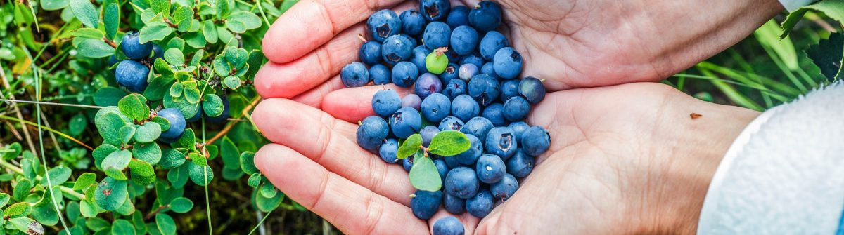 human-hands-and-a-bush-of-a-ripe-blueberry-at-the-summer-iceland-shutterstock_174107846-2