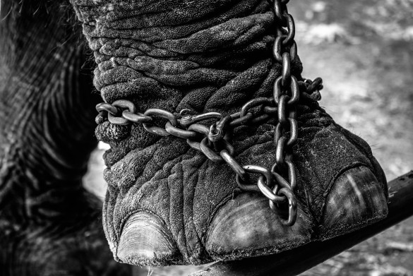 elephant-chained-shutterstock_301960409-2-585x391