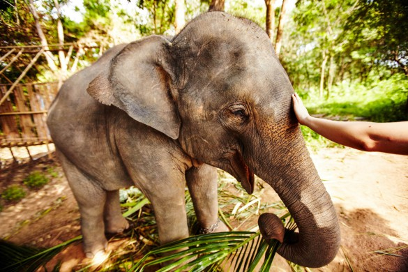 An eco-tourist reaching out to caress an Asian elephant calf - Thailand