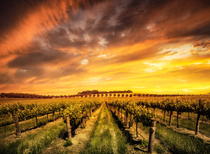 Barossa Valley vineyard at dawn in Australia