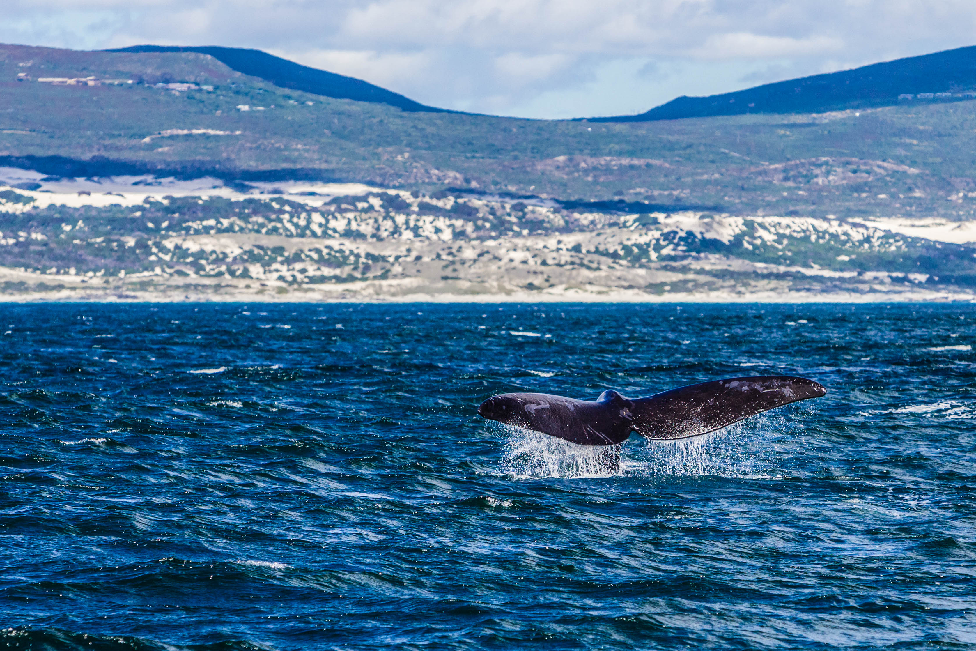 """Whale watching in Hermanus, South Africa.Whale tail / fluke."""