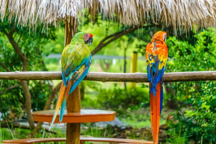 tropical-parrots-in-nature-shutterstock_514149409-2