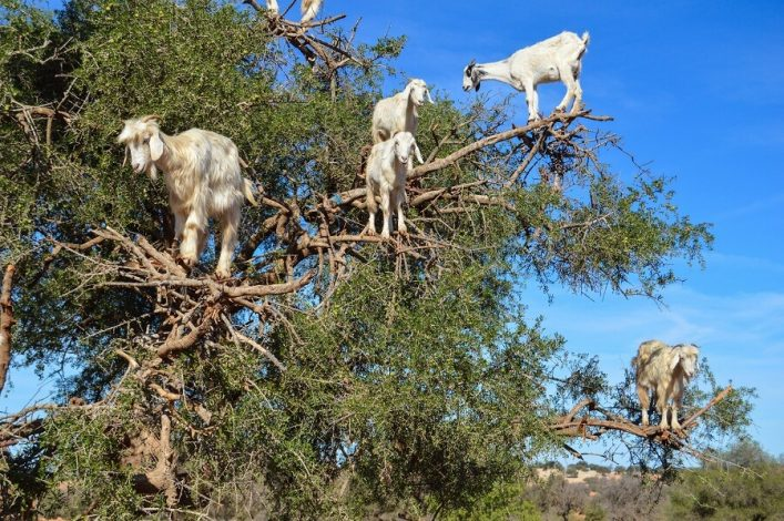 argan-trees-and-the-goats-on-the-way-between-marrakesh-and-essaouira-in-morocco-shutterstock_375473125-2-1
