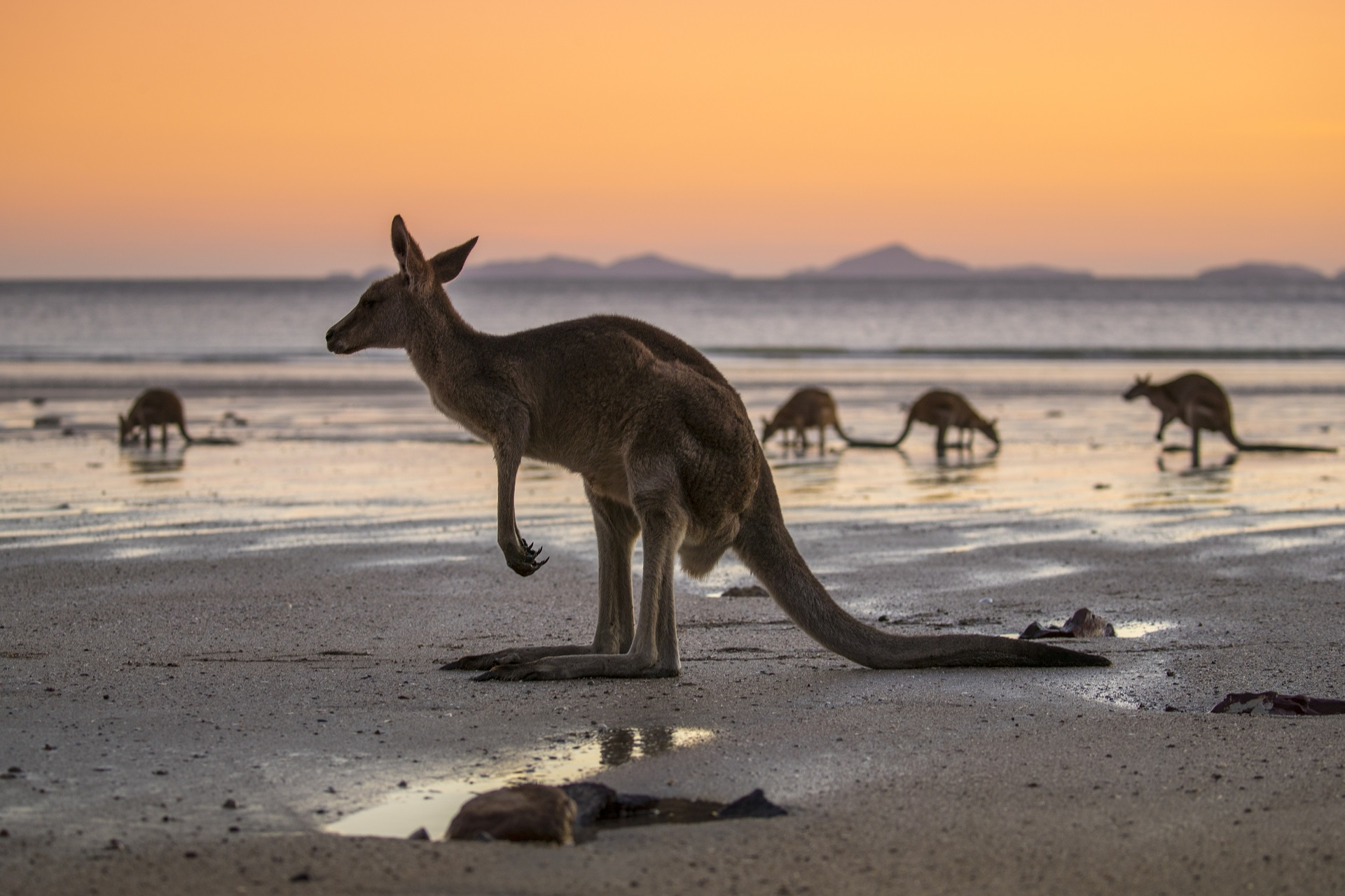 Känguru am Strand in Australien