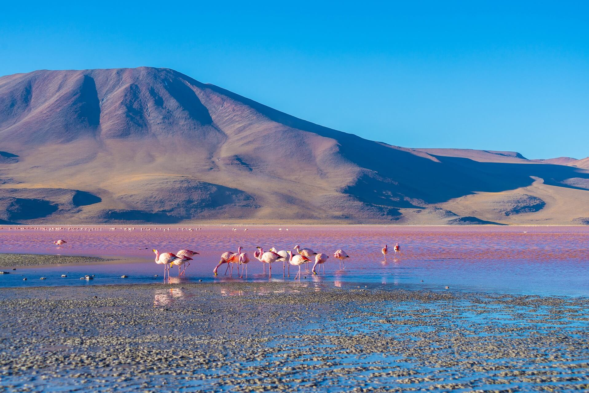 Flamingos am pinken See in Bolivien