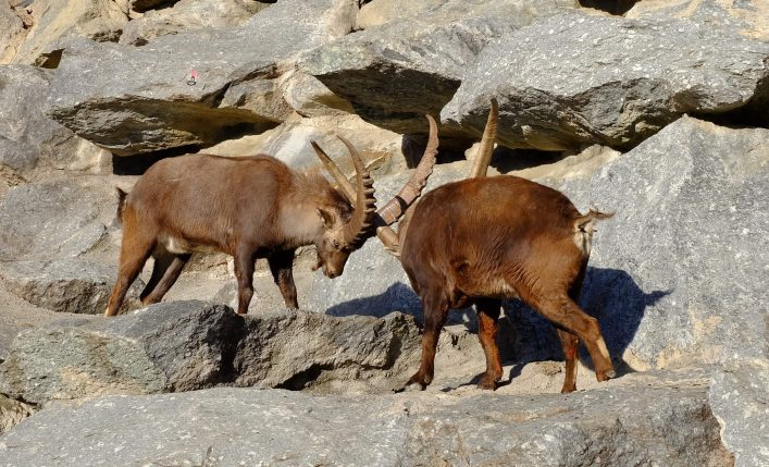 The-Alpine-Ibex-Mountain-Goat-fight-for-win-and-drove-leader-in-Alpine-Zoo-Innsbruck-Austria-shutterstock_645480724